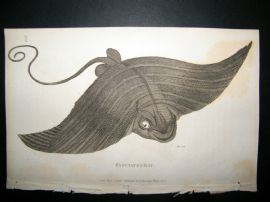 Shaw C1810 Antique Fish Print. Fasciated Ray